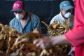 Tobacco farmers in Red states like Kentucky and North Carolina will be affected by the latest tariffs. Photo: Alamy