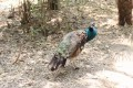 One of the peacocks injured in the latest incident. Photo: Thepaper.cn