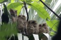 A family of owls has attracted scores of bird enthusiasts. Photo: Sam Tsang