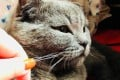 Beijinger Han Tong posted this picture on second-hand goods marketplace Xian Yu of her British shorthair cat, which she is offers to hire out as a model.