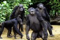 Chimpanzees from Monkey Island, a celebrated colony of former research lab captives on an atoll deep in the jungle of southern Liberia. New research has found that chimp nests are surprisingly clean in many respects. Photo: Agence France-Presse