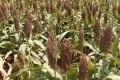 A file picture of a sorghum crop in the US state of Oklahoma. Photo: Associated Press