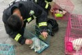 A firefighter shown treating one of the animals caught in the blaze. Photo: Ahwang.cn
