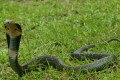 One of Hong Kong's most venomous snakes, the Chinese cobra can be founds in grassy, shrubby, wooded and mangrove areas. Photo: AFCD