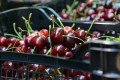 The so-called trade war between the world's two largest economies officially started on Friday, but for Chinese importers of American cherries, the impact of the long-running dispute has been rumbling through the sector for weeks. Photo: Xinhua