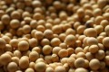 China has been the biggest buyer of US soybean but imports are now caught up in Beijing and Washington's tit-for-tat tariffs. Photo: TNS