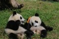 Two of the cubs at the centre in Sichuan. Source: Chengdu Commercial Daily