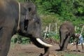 A mahout sweeping the surroundings of an elephant and a calf about 250km west of Bangalore. Photo: AFP