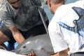 Scientists with a six-month-old vaquita porpoise calf – the first ever caught as part of a bold programme to save the critically endangered species in the Gulf of California. Photo: AFP/Semarnat/HO