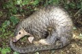 Pangolins are critically endangered largely due to demand for their meat and scales. Photo: Dr Gary Ades, KFBG
