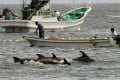 File photo of fishermen driving bottle-nose dolphins into a net during the annual hunt off Taiji, Wakayama prefecture, Japan. Photo:Kyodo