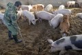 China is the world's largest producer of pork, but an African swine fever outbreak could devastate herds. Photo: AP