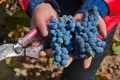 Bunches of cabernet sauvignon grapes harvested for Silver Heights Winery. Photo: Alamy