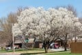 A blooming Bradford pear tree in Wichita, Kansas. Picture: Alamy