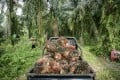 A truck loaded with harvested oil palm fruits at a plantation in North Sumatra, Indonesia, in September 2016. Palm plantations built on destroyed tropical rainforest have seen the death and displacements of many species, among them the endangered orangutan. Photo: EPA