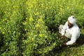 India has urged China to drop a long-standing ban on rapeseed meal imports amid its trade war with the United States. Photo: Reuters