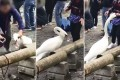 A video shows Chinese-speaking tourists teasing and grabbing a swan in Lucerne. Photo: News.sina.com.cn