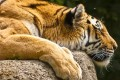 A Malayan tiger. Photo: SCMP Pictures