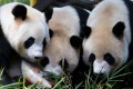The world's only giant panda triplets, Meng Meng, Shuai Shuai and Ku Ku, celebrate their fourth birthday at Chimelong Safari Park in Guangzhou. Chinese stocks are in bear market, and the Chinese authorities need to take a more active approach to fixing the Chinese economy. Photo: Reuters
