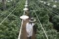 An employee checks cannabis plants at a medical marijuana plantation in northern Israel. Photo: Reuters