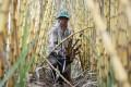 A sugar farmer in Kandal province, Cambodia. Photo: Reuters