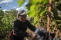 A farmer harvests grapes at the Ao Yun vineyard, where Moet Hennessy is out to prove that China can produce great wines. Photo: AFP