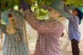 Women harvest grapes in Nakhon Ratchasima Province. Photo: iStock