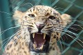 FILE PHOTO: A leopard is seen inside its enclosure at a zoological park in Jammu September 19, 2007. REUTERS/Amit Gupta/File Photo