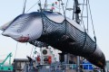 A minke whale is lifted from a Japan whaling ship in Kushiro port, Hokkaido in September 2017. Photo: EPA