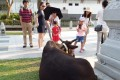 Cattle roaming freely among tourists in Ngong Ping on Lantau Island. Photo: Tai O Community Cattle Group