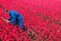 The Netherlands, where the people take their flowers seriously, is ranked eighth in the world for attracting talent in business, according to a survey conducted by French business school INSEAD and tech firms Adecco and Tata Communications. Photo: Reuters
