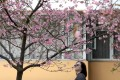 Cherry blossom at the Chinese University of Hong Kong in Sha Tin on Saturday. Photo: Felix Wong