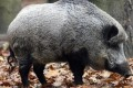 A wild boar scavenging for food. Photo: Bloomberg