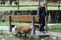 An elderly man walks past a wild boar in Aberdeen Park, Hong Kong. Most of us will spend 30 per cent or more of our lives in retirement, with many remaining physically and mentally healthy. Placing the burden of support solely on the younger generation would be economically disastrous. Photo: AFP