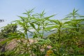 Marijuana growing in Chiang Mai, Thailand, where its medical use has been approved. Advocates for the drug are pushing for its full legalisation and see it becoming a cash crop, possibly for export.