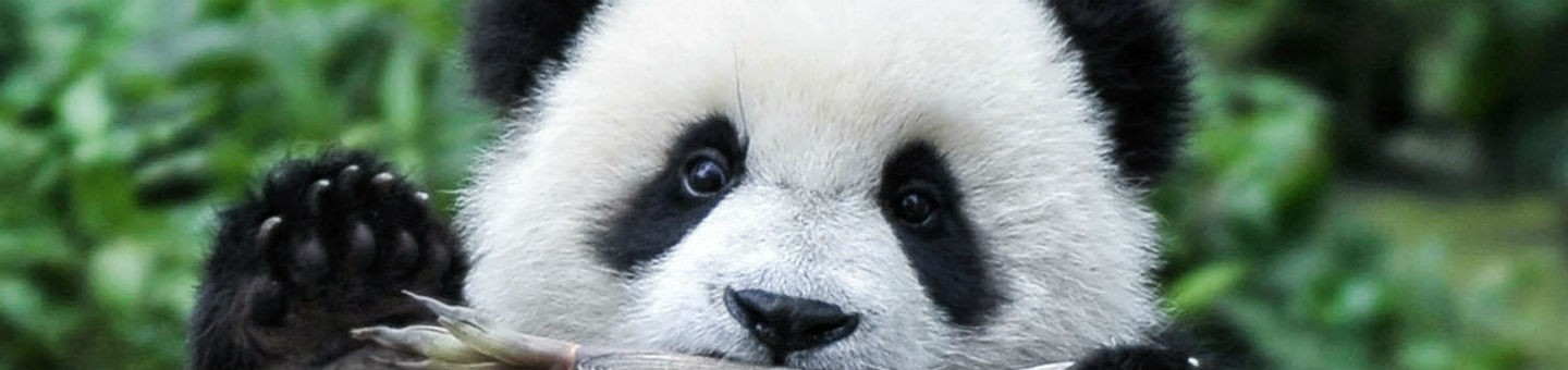 Pandas | South China Morning Post