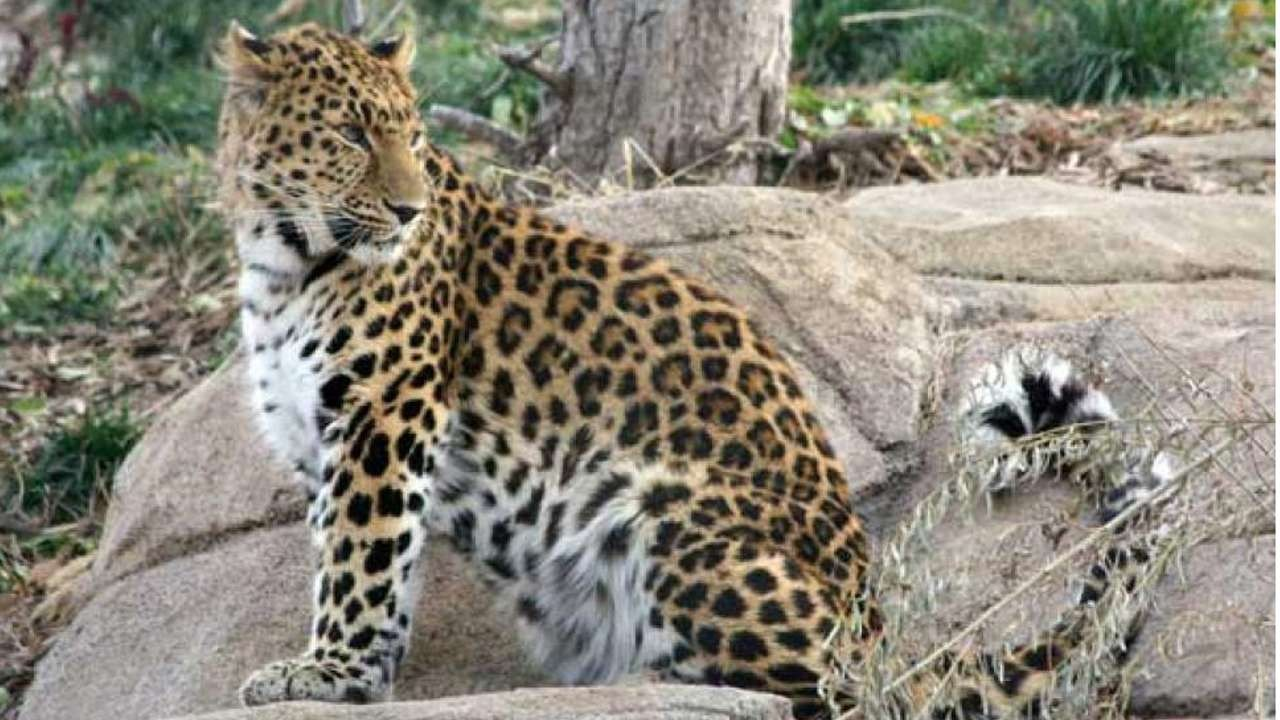 0bf0ff411 Zeya the leopard escapes at Utah zoo, forcing hundreds of visitors to take  shelter   South China Morning Post