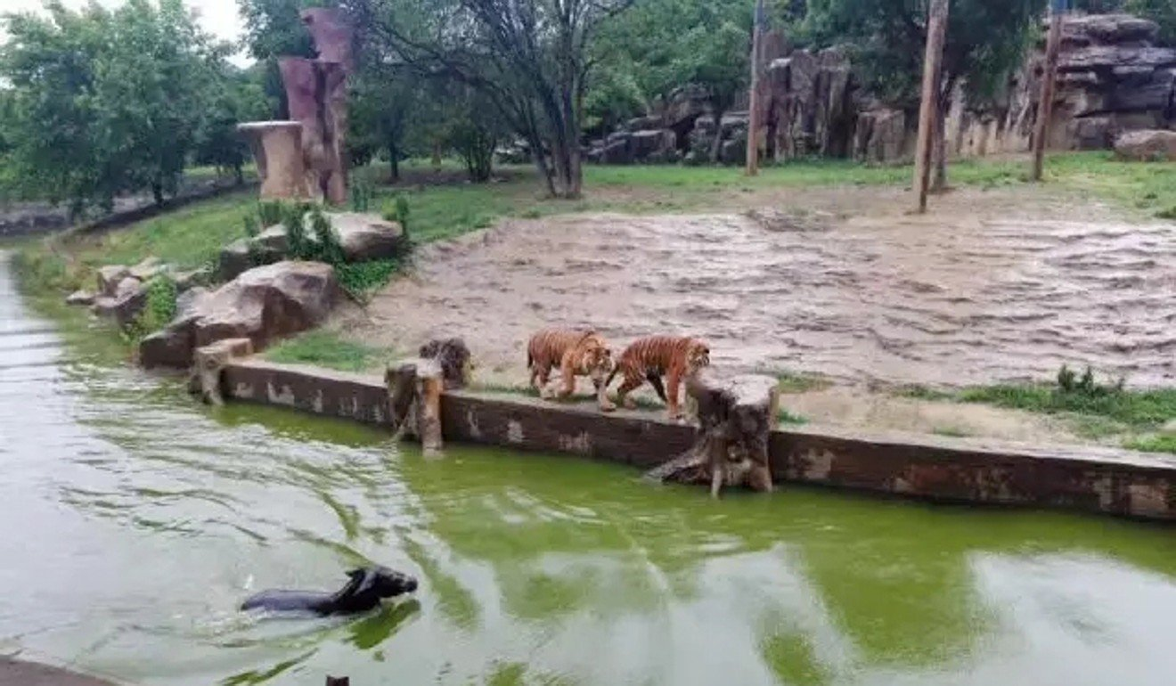 Image result for donkey zoo china tigers