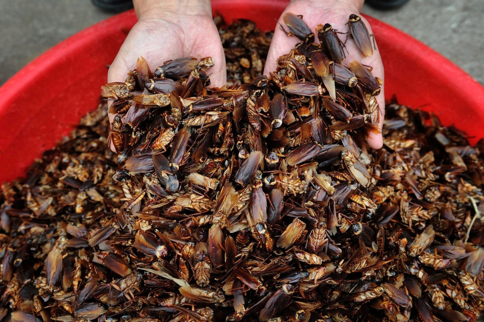 e996c6a451 A giant indoor farm in China is breeding 6 billion cockroaches a year.  Here s why