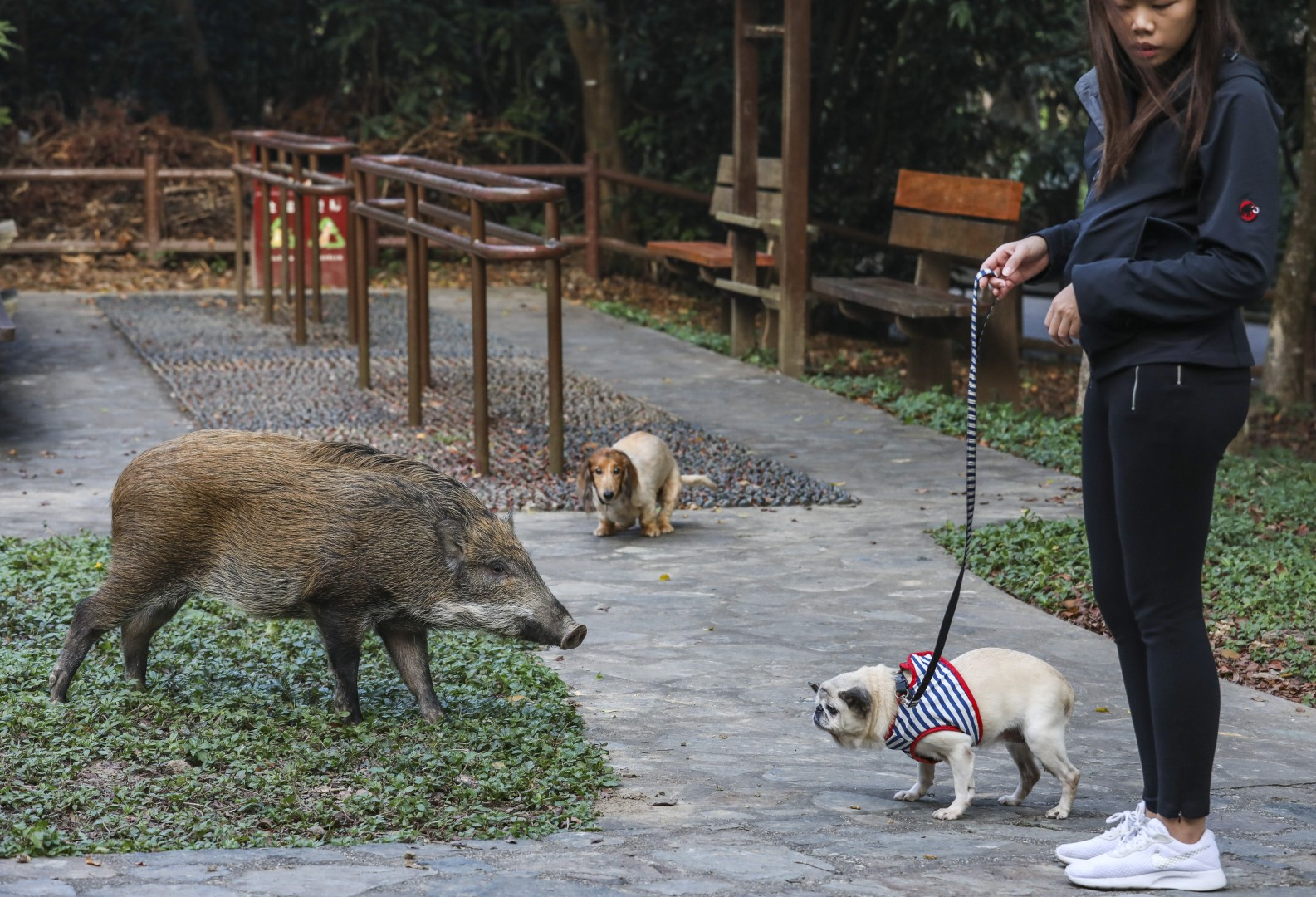 Wild boars in Hong Kong: are they dangerous, why are there