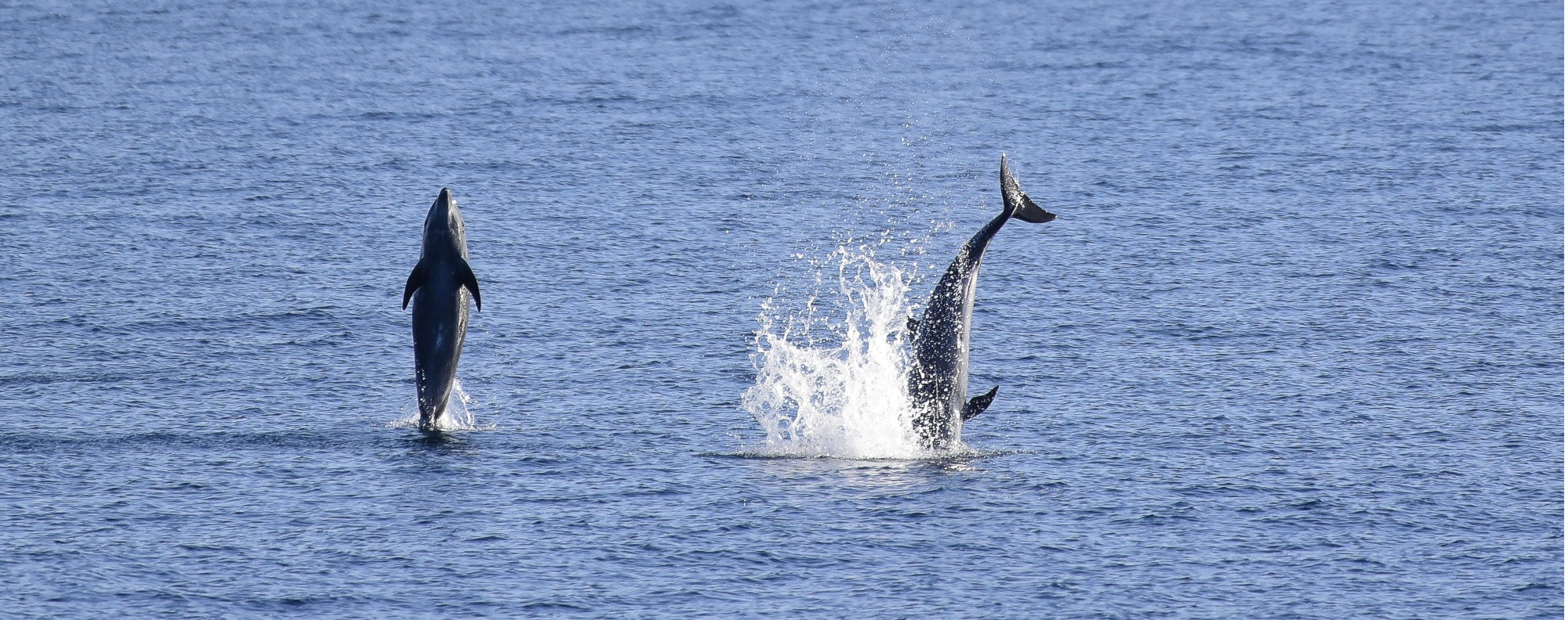 Common dolphins frolick in the Sea of Cortez. Picture: Nick Walton