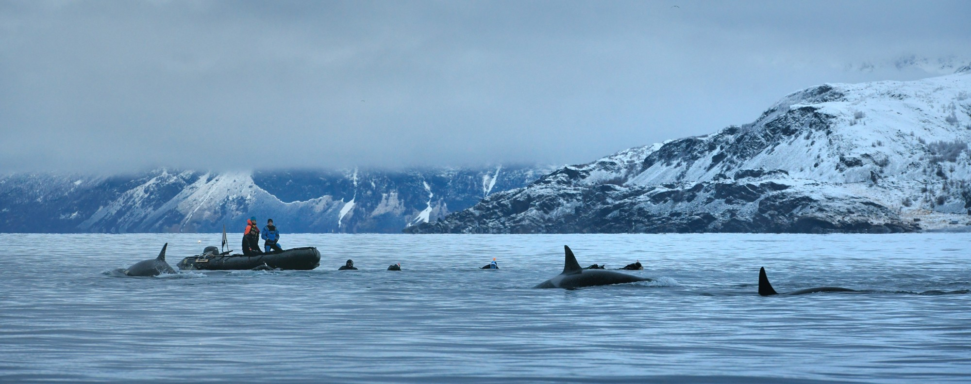 Orcas usually travel in packs of 30 when huting for food. Their favourite is spring-spawning herrings.