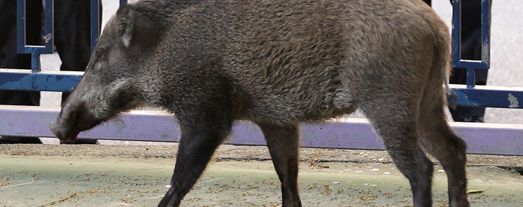 Wild boar | South China Morning Post
