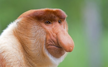 A male proboscis monkey. Photos: Corbis.
