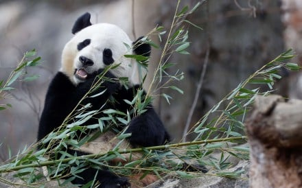 Bao Bao pictured eating bamboo at the National Zoo in Washington. Photo: Reuters
