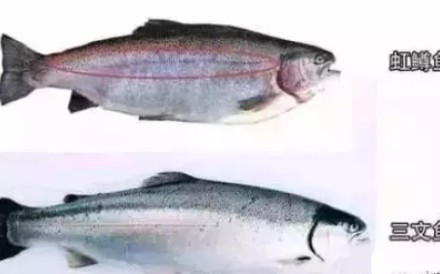 CCTV has reported that one-third of the salmon sold in China is actually rainbow trout (top) farmed in Qinghai province rather than imported salmon (below). Photo: Handout