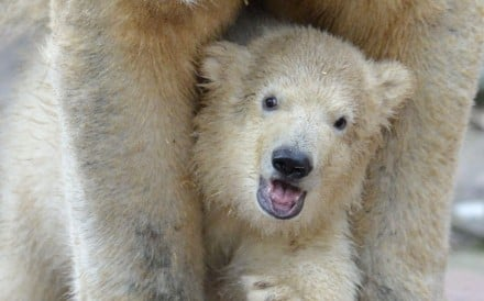 A baby polar bear looks around a zoo enclosure in Germany. Eight of the last 10 bear markets in the US were associated with recessions. The next one should not be catastrophic, given the current economic climate. Photo: EPA