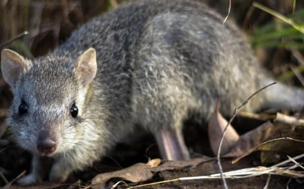"The bettong, a truffle-eating Australian marsupial known as the ""rat kangaroo"". Photo: AFP"