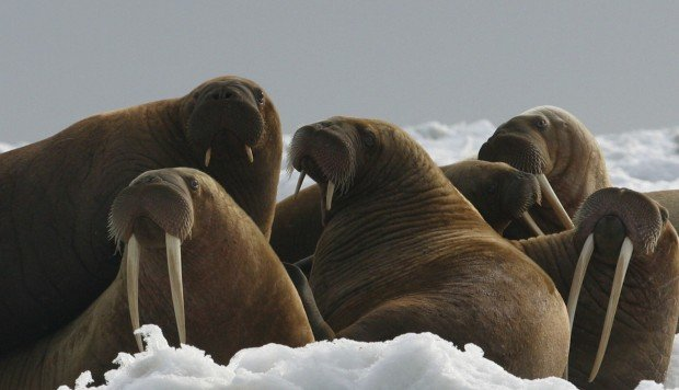 US environmental group to sue government over status of Pacific walrus as an endangered species
