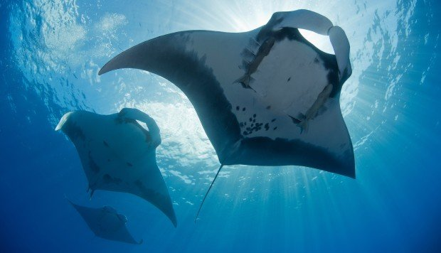Scientists discover world's first known manta ray nursery: A reef system in the Gulf of Mexico helps answer a question that has long puzzled marine biologists – where are the baby manta rays.